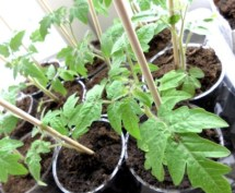 Tomatplantor 2014-04-18