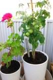 Pelargon och tomatplanta Vilma.