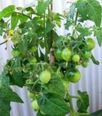 Tomatplanta Vilma, från frön.
