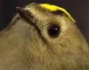 Kungsfågel 2
