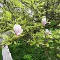 Magnolia vid Villa Ekbacken.