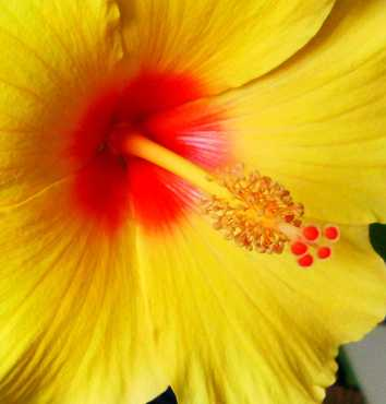 Yellow hibiscus.