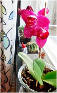 Orkidé i lila