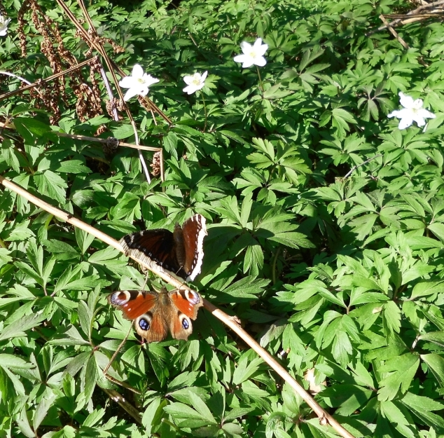 Fjärilar bland vitsippor
