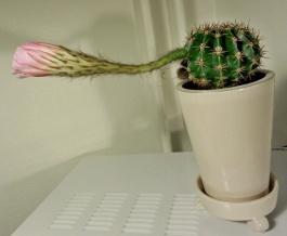 2-kaktus
