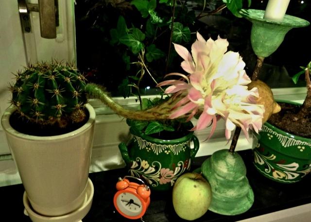 6-kaktus