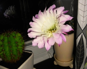 rosa-kaktusblomma